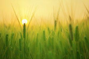 Barley Field Wheat Harvest Sunrise  - kangbch / Pixabay