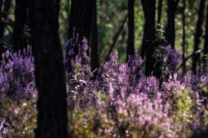 Forest Heather Purple Atmosphere  - mac231 / Pixabay